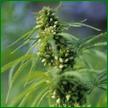Whole plant cannabis therapeutics