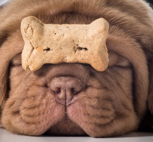 dog with a bone - dogue de bordeaux puppy with a dog buscuit on