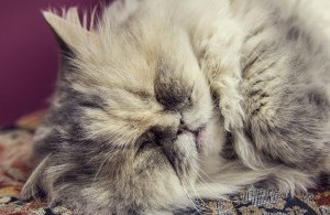 bigstock-purebred-gray-cat-sleeping-in-81237131-300x200