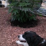 Lucy the CannaDog enjoying the garden!