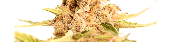 Girl Scout Cookies (extreme)