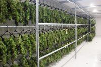 dry cannabis plants