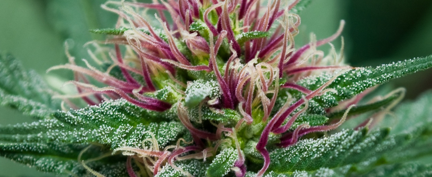 Blueberry Haze Growing