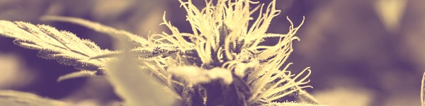 Growing weed Strain