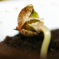 Cannabis seedling stage