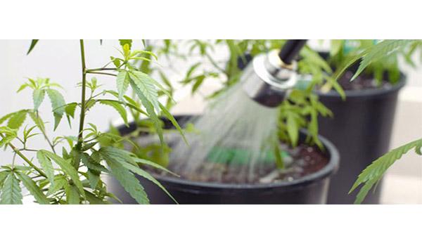 flushing marijuana plants