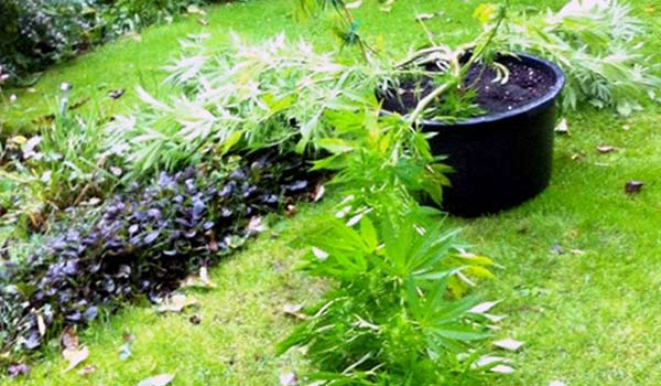 What To Do When Your Marijuana Plant Was Knocked Down