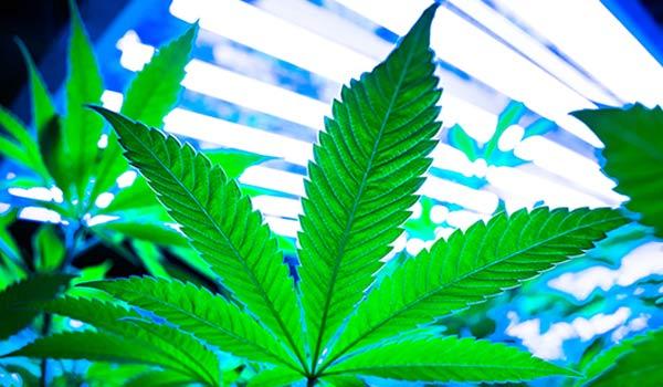 pruning cannabis plants