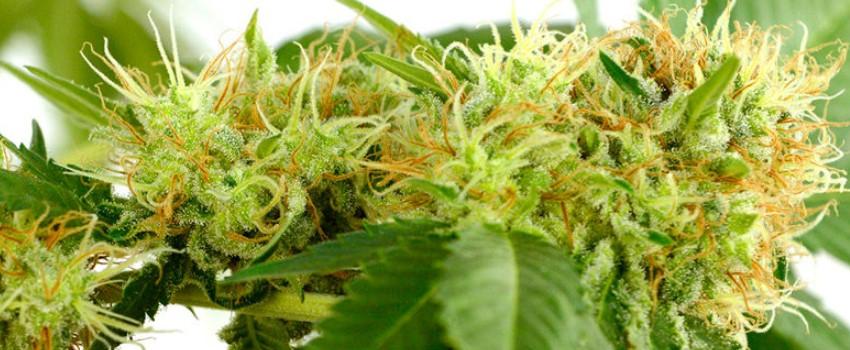 Marijuana plants during the flowering phase