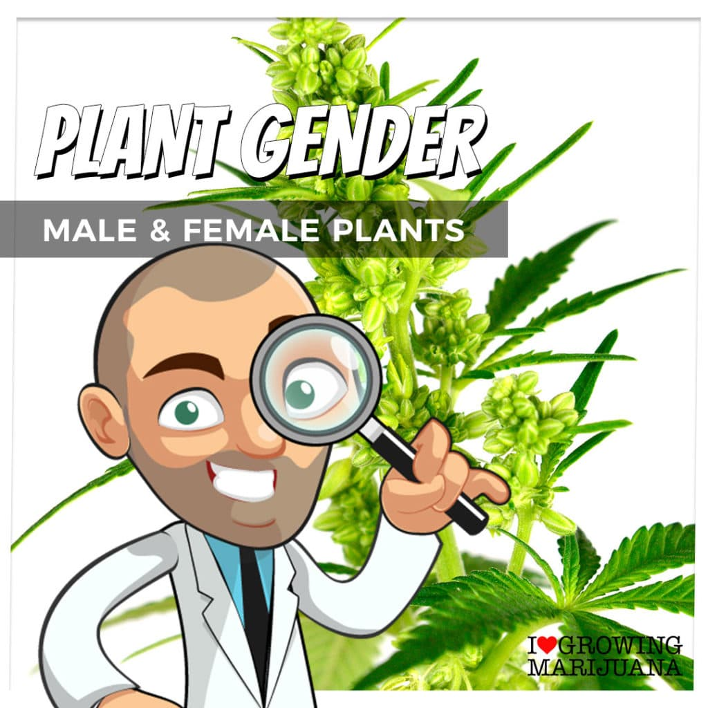 Marijuana gender identification