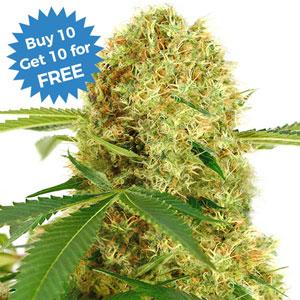 buy white widow strain