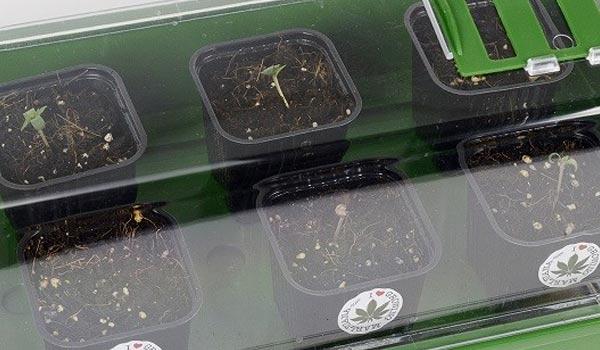planting germinated seeds