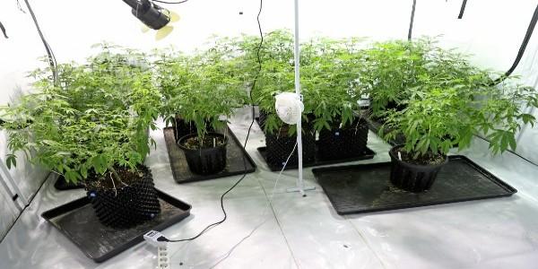 An indoor cannabis grow set-up