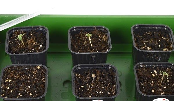 outdoor germination