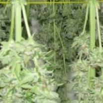 drying marijuana plants