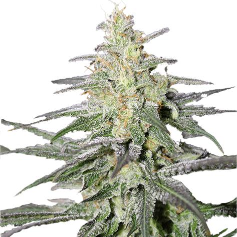 harvesting sativa marijuana plants