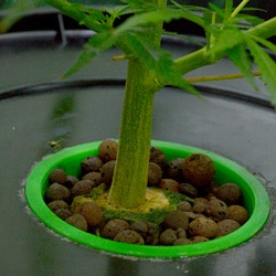week 1 flowering stem